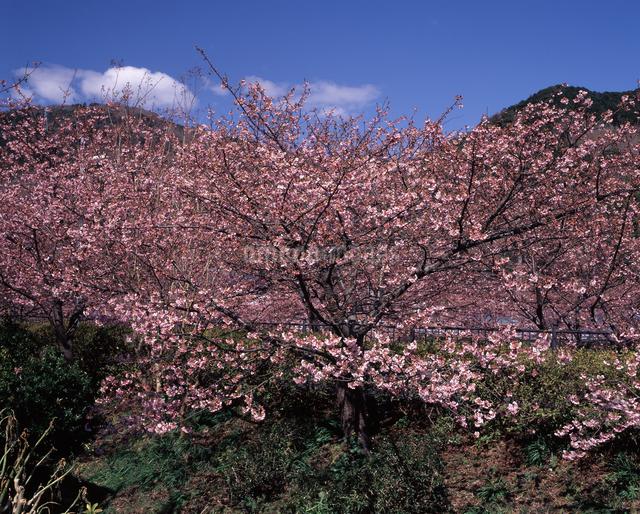 河津桜の写真素材 [FYI04135911]
