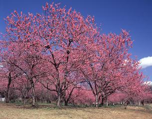 花桃の写真素材 [FYI04135962]