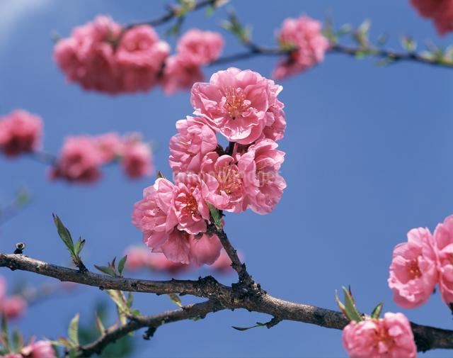 桃の花の写真素材 [FYI04135968]