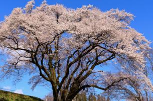 鉢形城の桜 氏邦桜の写真素材 [FYI04135984]