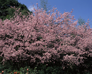 安行寒桜の写真素材 [FYI04136004]