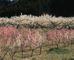 越生梅林の写真素材 [FYI04136009]
