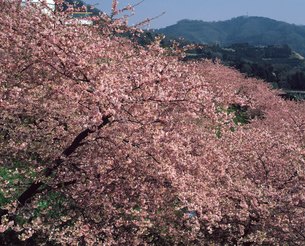 まつだの桜の写真素材 [FYI04136033]