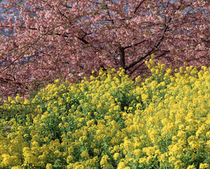 まつだの桜と菜の花の写真素材 [FYI04136036]