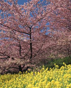 まつだの桜と菜の花の写真素材 [FYI04136038]