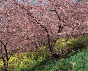まつだの桜と菜の花の写真素材 [FYI04136040]