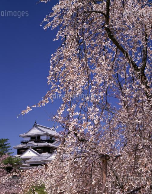 天守閣としだれ桜の写真素材 [FYI04136147]