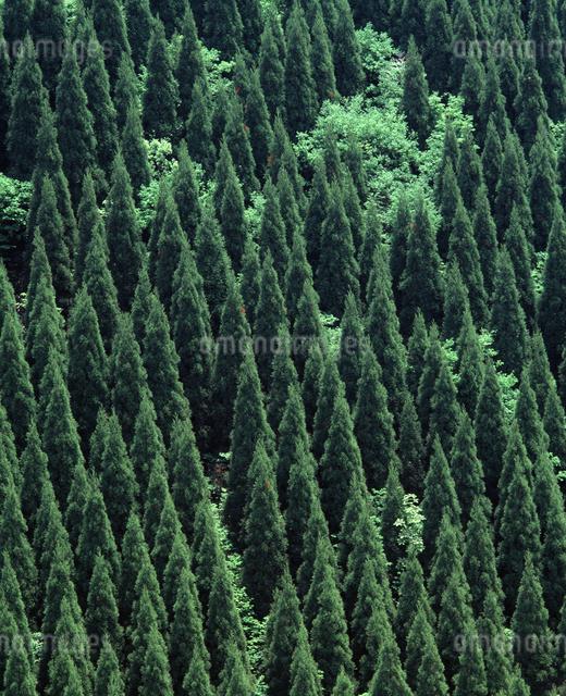 杉林の写真素材 [FYI04136163]