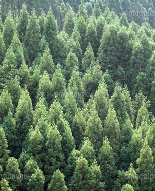 杉林の写真素材 [FYI04136164]