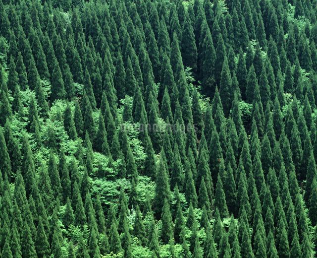杉林の写真素材 [FYI04136166]