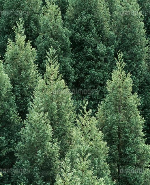 杉林の写真素材 [FYI04136167]