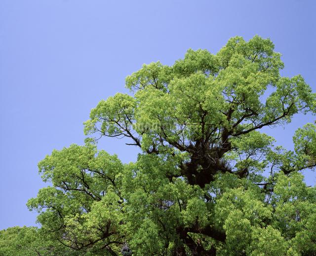 新緑のクスノキの写真素材 [FYI04136185]