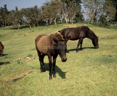 都井岬の野生馬の写真素材 [FYI04136190]