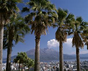 桜島と椰子の木の写真素材 [FYI04136312]