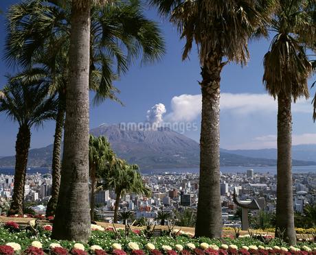 桜島と椰子の木の写真素材 [FYI04136313]