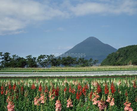 開聞岳とキンギョソウの写真素材 [FYI04136324]