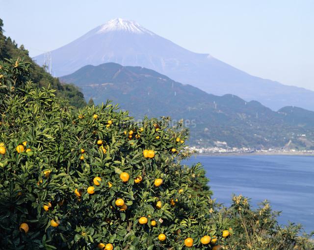 富士山とミカンの写真素材 [FYI04136350]