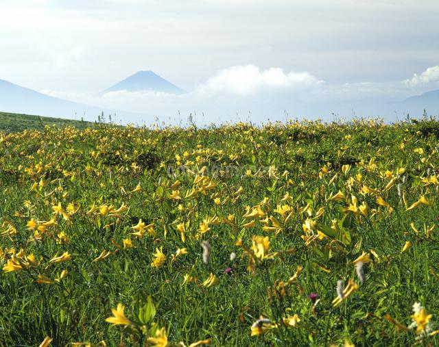 ニッコウキスゲと富士山の写真素材 [FYI04136416]