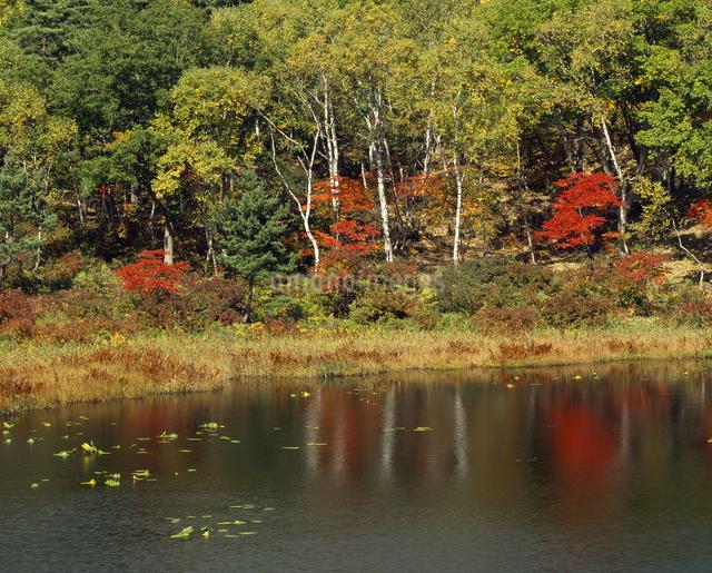 投影 紅葉と白樺の写真素材 [FYI04136439]