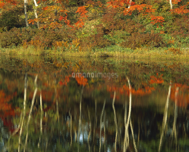 投影 紅葉と白樺の写真素材 [FYI04136440]