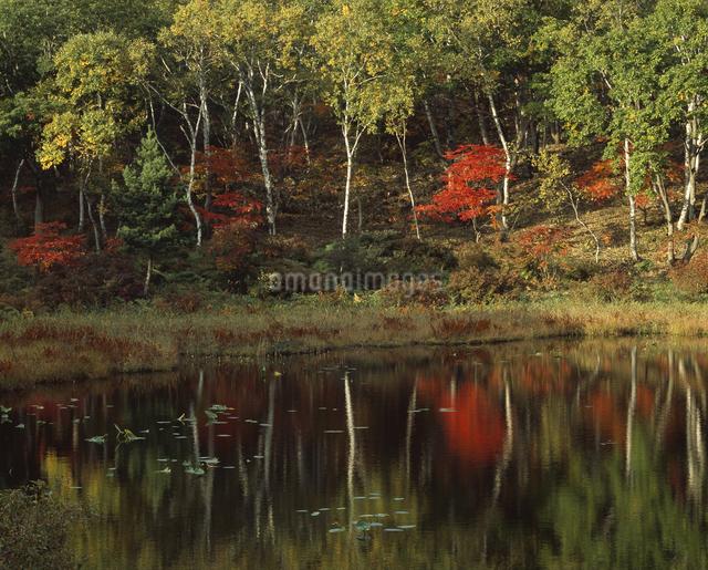 投影 紅葉と白樺の写真素材 [FYI04136443]