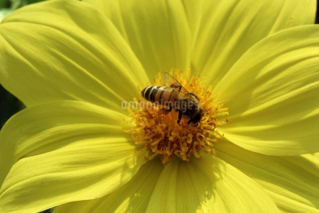 蜜蜂とダリアの写真素材 [FYI04136538]
