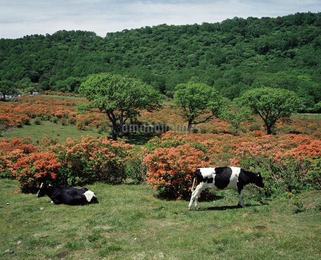 牛とツツジの花の写真素材 [FYI04136543]