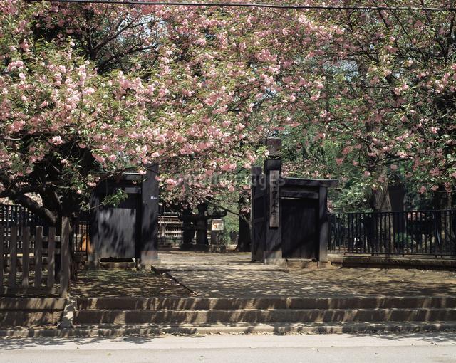 八重桜の写真素材 [FYI04136623]