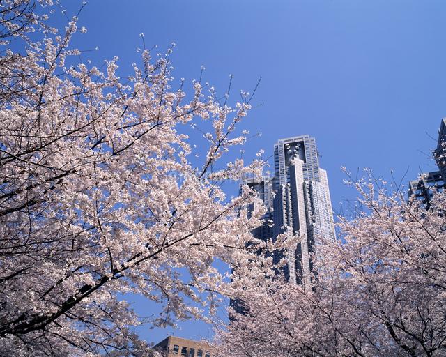 桜と都庁舎の写真素材 [FYI04136625]
