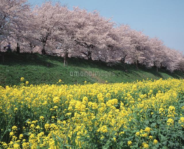 さくらと菜の花の写真素材 [FYI04136631]