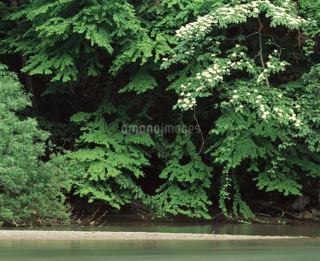 流れと白い花の写真素材 [FYI04136637]