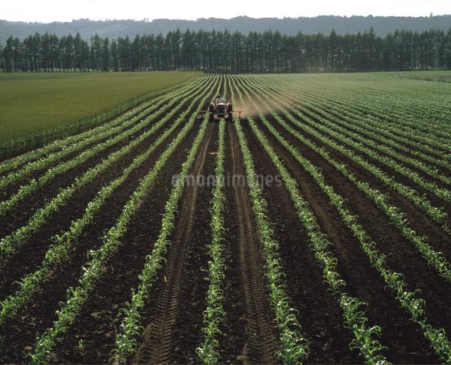 トウモロコシ畑のトラクターの写真素材 [FYI04136696]