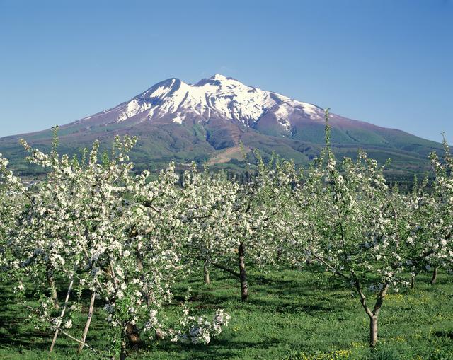 リンゴの花畑と岩木山の写真素材 [FYI04136706]
