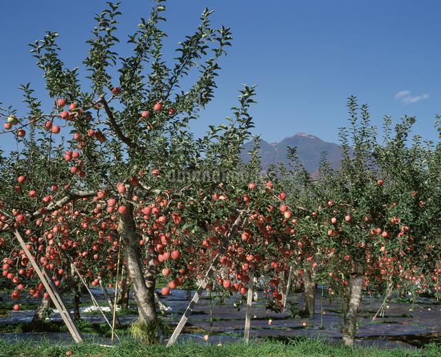 岩木山とリンゴの写真素材 [FYI04136713]