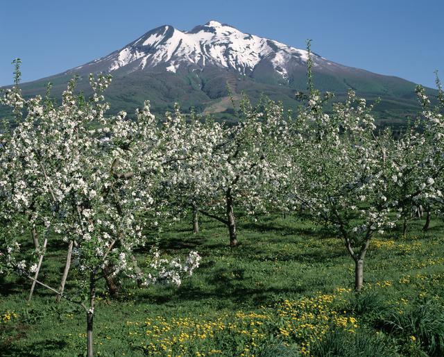 リンゴの花と岩木山の写真素材 [FYI04136719]