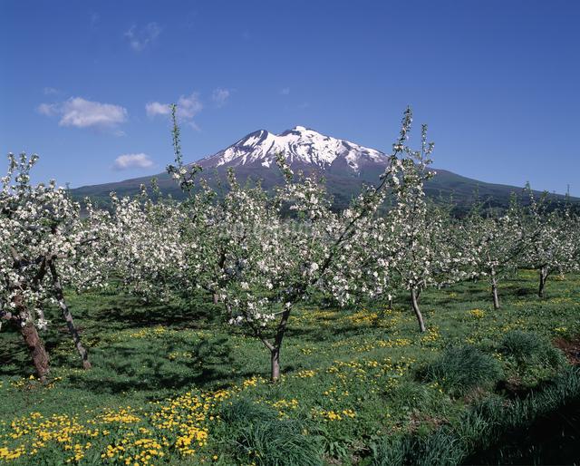 リンゴの花と岩木山の写真素材 [FYI04136720]