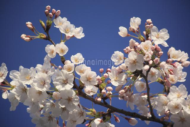 さくらの花の写真素材 [FYI04136777]