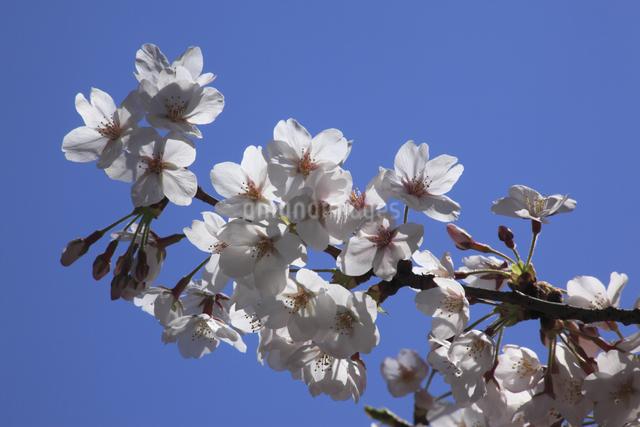 さくらの花の写真素材 [FYI04136780]