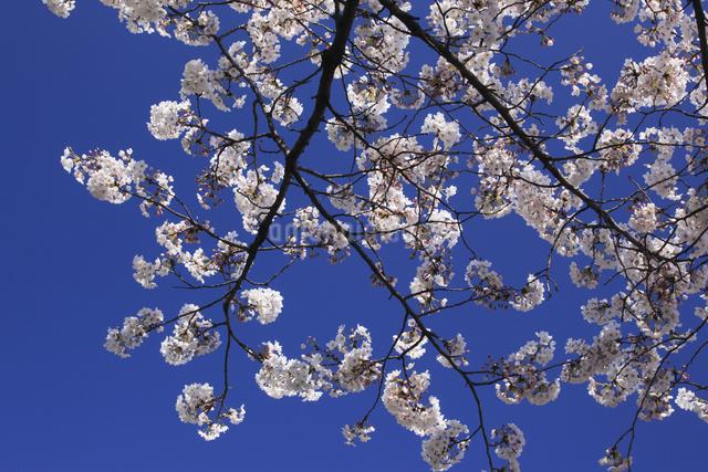 さくらの花の写真素材 [FYI04136782]