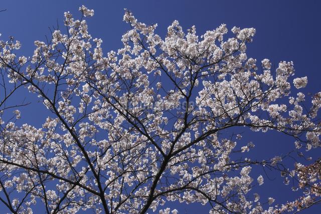 さくらの花の写真素材 [FYI04136783]