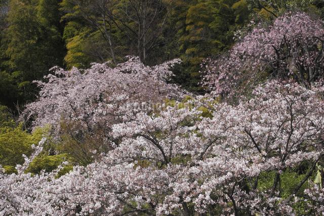 さくらとしだれ桜の写真素材 [FYI04136784]