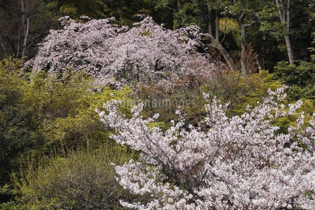 さくらとしだれ桜の写真素材 [FYI04136785]
