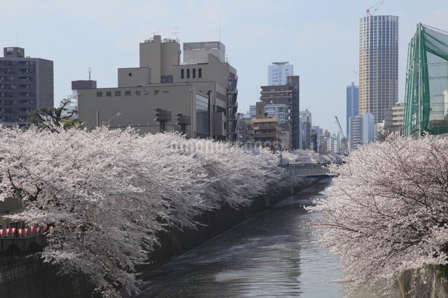 目黒川の桜の写真素材 [FYI04136787]