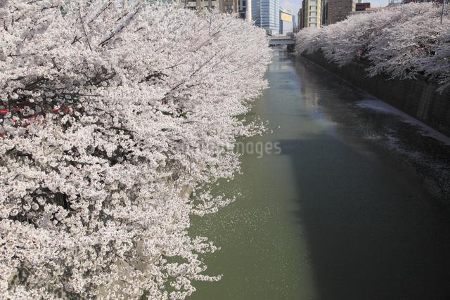目黒川の桜の写真素材 [FYI04136791]