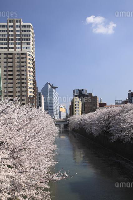 目黒川の桜の写真素材 [FYI04136793]
