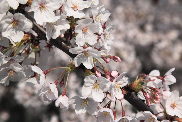 さくらの花の写真素材 [FYI04136795]