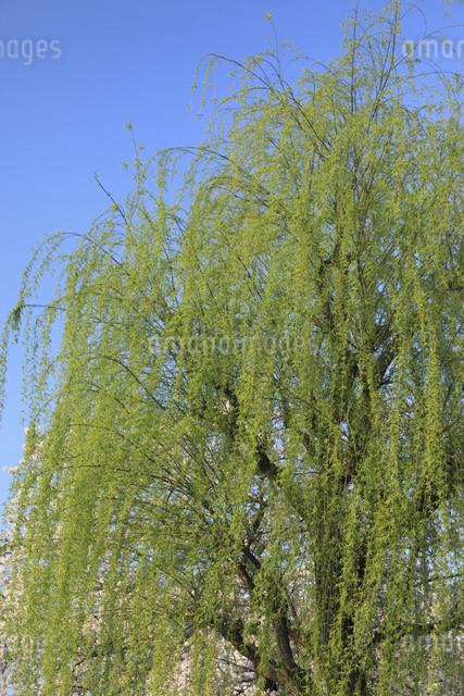 柳の新緑の写真素材 [FYI04136803]