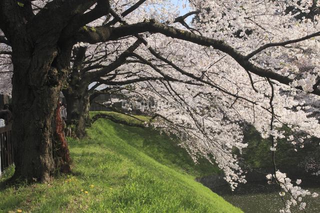 田安門付近の桜の写真素材 [FYI04136815]