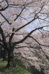田安門付近の桜の写真素材 [FYI04136816]