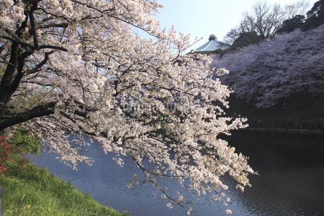 さくらと武道館の写真素材 [FYI04136823]